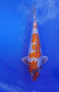 346-Akrimna fish center-blitar-kantong koi-blitar-ginrin B-23cm