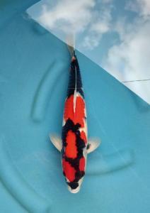 081-Adit armin-tulungagung-pasukan bawah air-tulungagung-showa shanshoku-35 cm-M