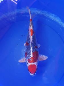347-Akrimna fish center-blitar-kantong koi-blitar-hikarimujimono-35cm